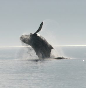 Humpback whale breaches in the Lynn Fjord! Customer photo