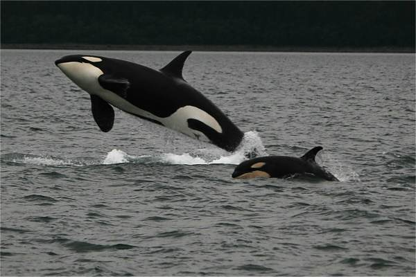Mom and baby Orca